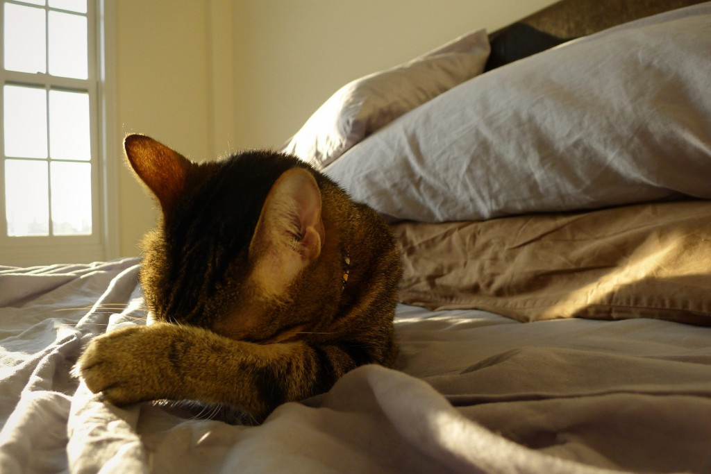 Spot, Cat, Bengal, New York, Queens, Astoria, Jen Blair, Jennifer Blair, Star Trek, Data